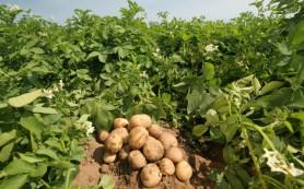 Врачи рекомендуют укреплять детское здоровье картошкой