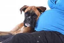 Собака — лучший компаньон для беременной женщины