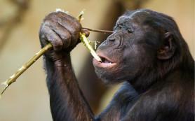 У детей-сирот и бонобо схожие проблемы в общении