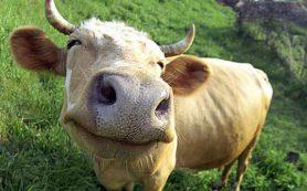 В Смоленской области коровы мешают детям учиться